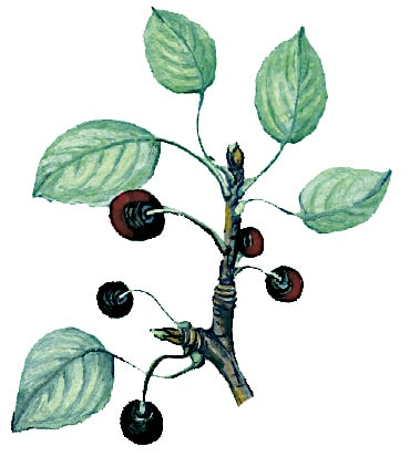 Alder Buckthorn Illustration for product design