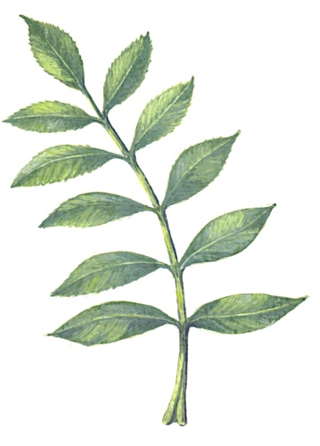 Ashleaf Illustration for product design