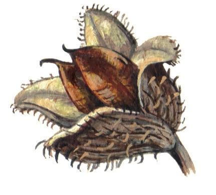 Beech Nut illustration for product design
