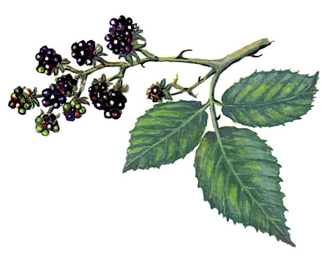 blackberry Fruits Illustration for product design