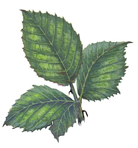 Boackberry leaf for product design