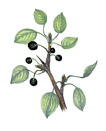 Blackthorn Fruit branch Illustration for product design