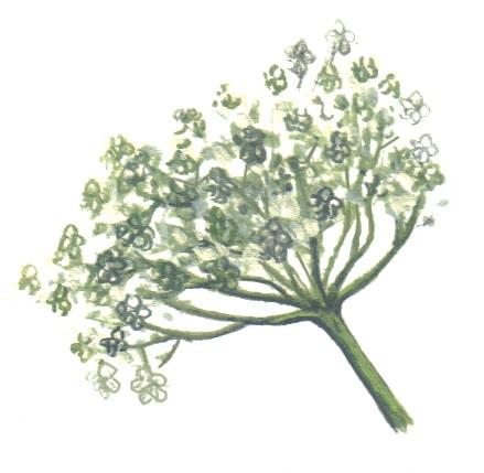 Elderflowers illustration for product design