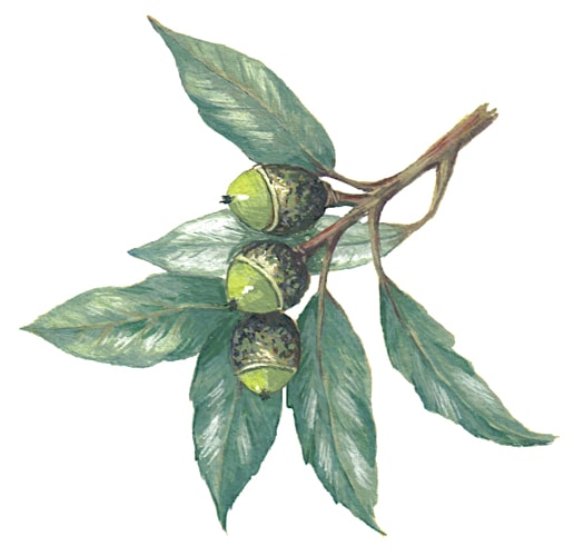 Evergreen Oak Branch fruits Illustration for product design