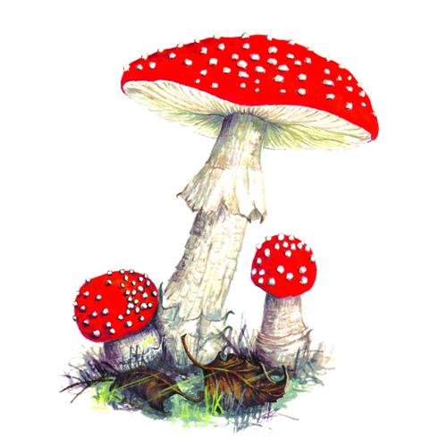 flyagaric fungi illustration for product design