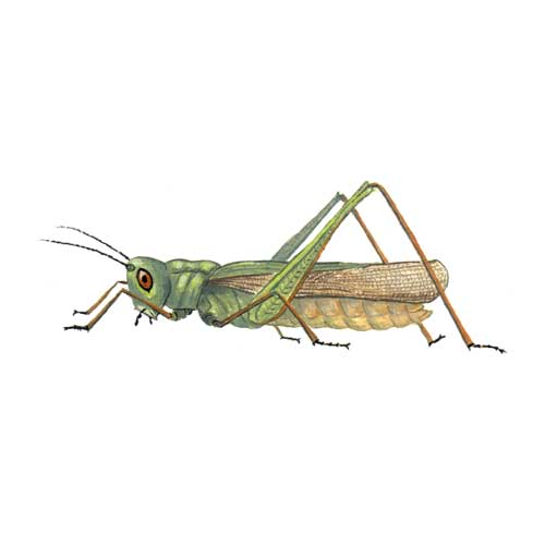 Grasshopper illustration for product design