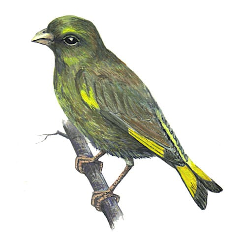 Greenfinch illustration for product design