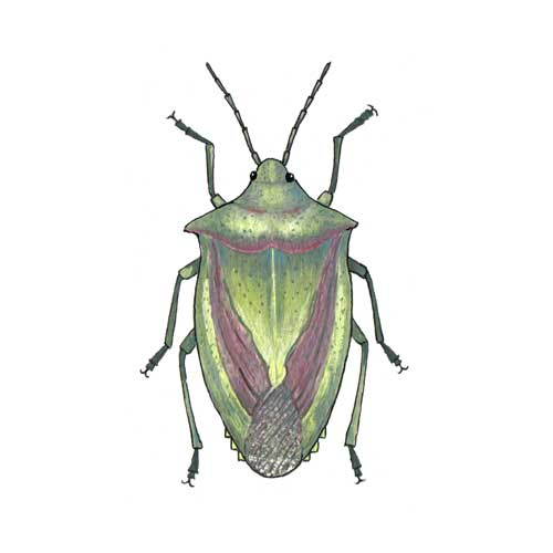 Hawthorn Shield Bug illustration for product design