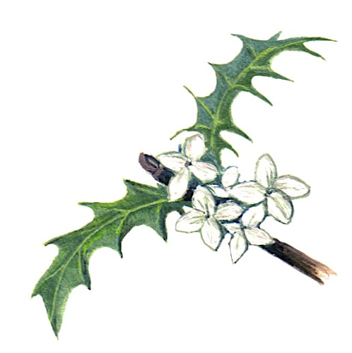 Holly Flowers Illustration for product design