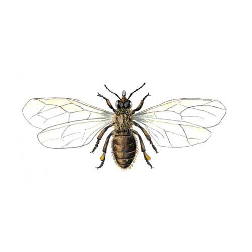 Honeybee illustration for product design