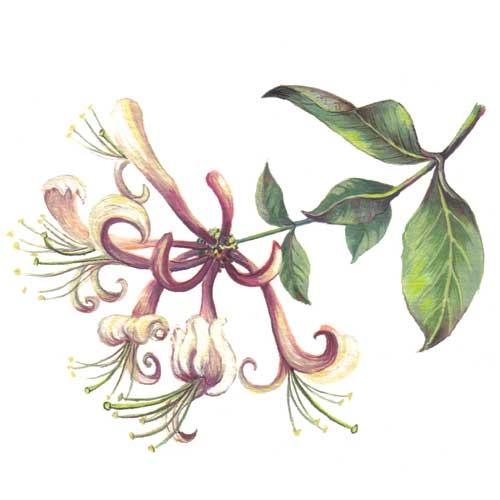 Honey Suckle Plant illustration for product design