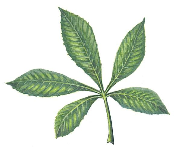 Horsechestnut leaf Illustration for product design
