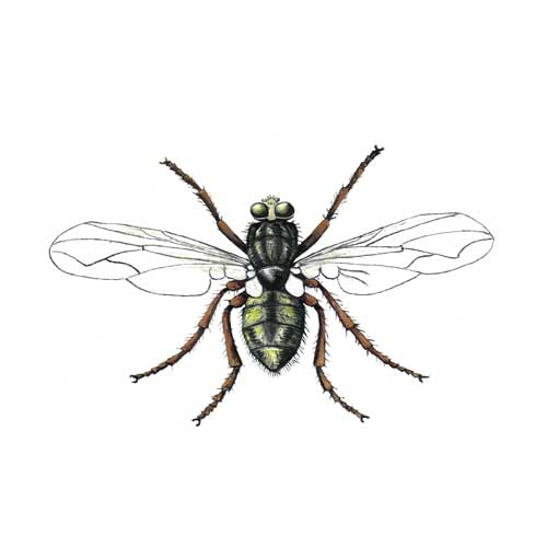 Housefly illustration for product design