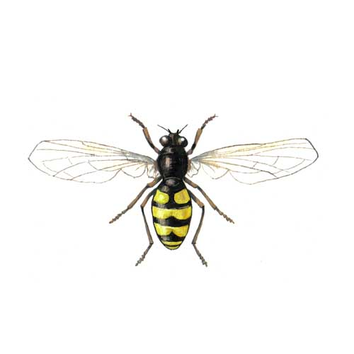 Hoverfly illustration for product design