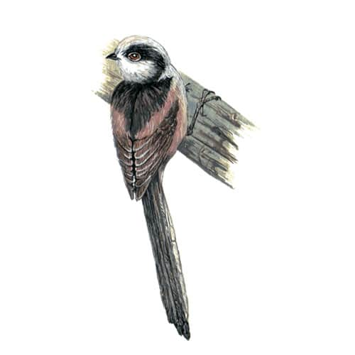 long tailedtit illustration for product design