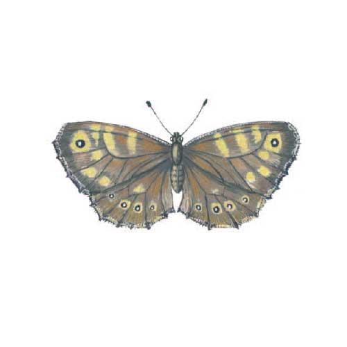 Ringlet Butterfly Illustration for product design