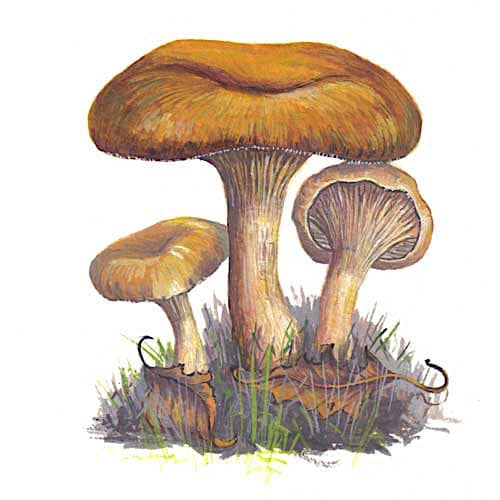 Rolrim fungi illustration for product design
