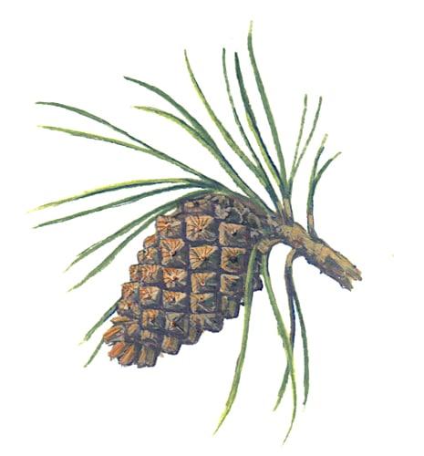 Scotts Pine Cone Illustration for product design