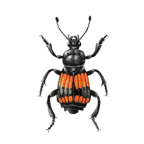 Sexton Beetle illustration for product design