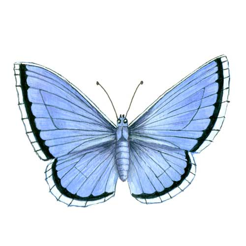 Silver studded blue Butterfly Illustration for product design