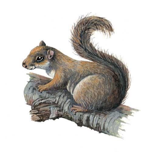 Squirrel Illustration for product design