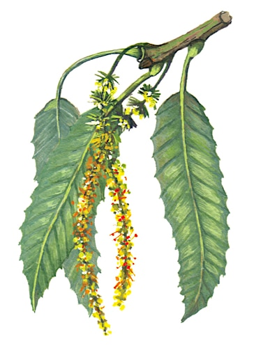 Sweet Chestnut Flowers Illustration for product design