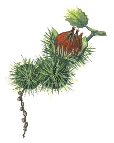 Sweet Chestnut Fruits illustration for product design