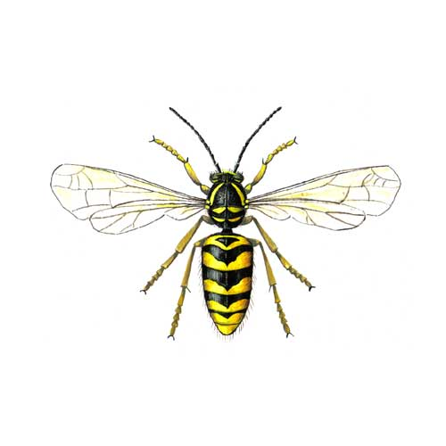 Wasp Illustration for product design