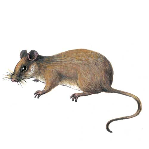Woodmouse Illustration for product design