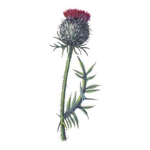 Woolly Thistle Illustration for product design