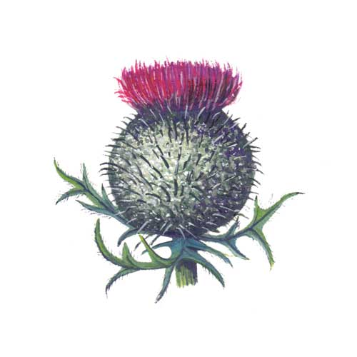 Woolly Thistle Flower Illustration for product design
