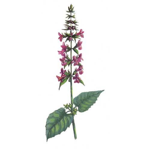 Wound Wort Plant illustration for product design