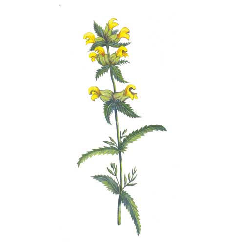 Yellow Rattle Flower Illustration for product design