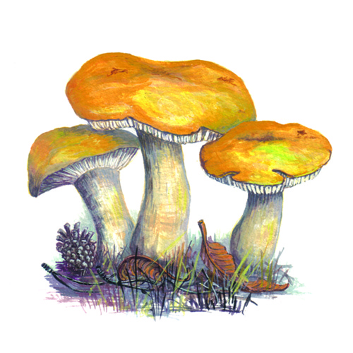 Yellow Russula Fungi illustration for product design