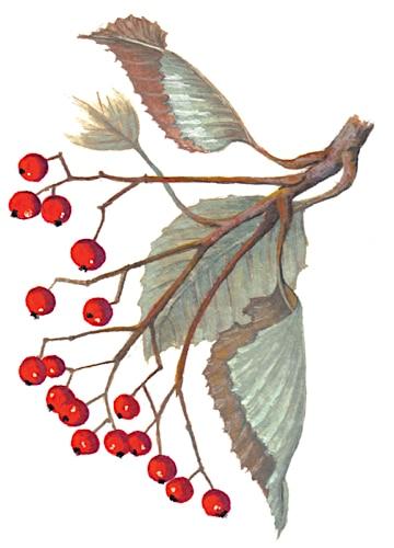 Whitebeam fruit Illustration