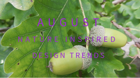 Acorns ripening on the native British oak tree